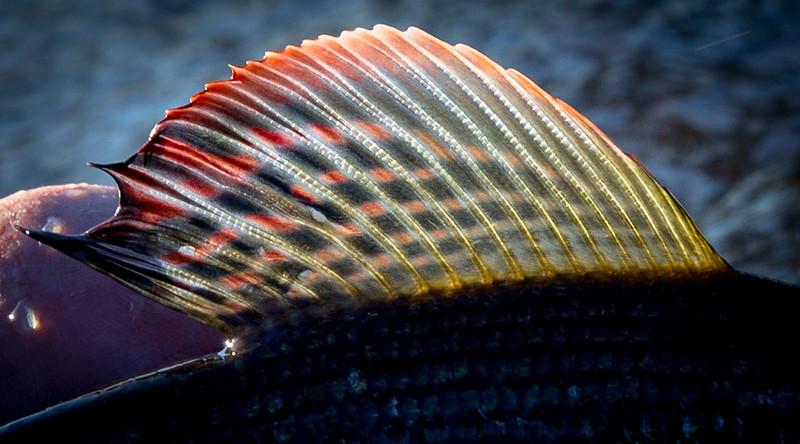 Grayling dorsal fin
