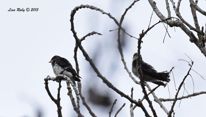 Juvenile Tree Swallows  - 5/25/2015 - Mast Park, Santee