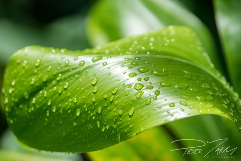 Wet Ti Leaf.jpg