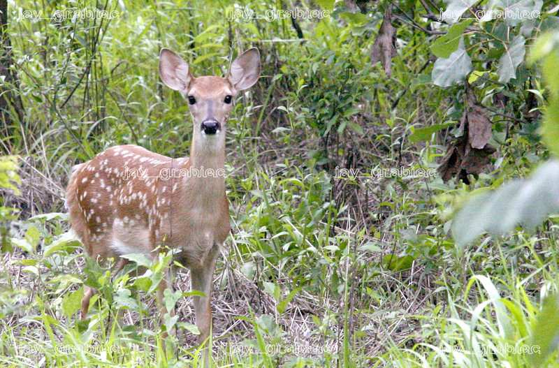 A white-tailed deer fawn watches as a sneak in for a closer shot at Fox Ridge state park on Friday, August 8, 2008. (Jay Grabiec)