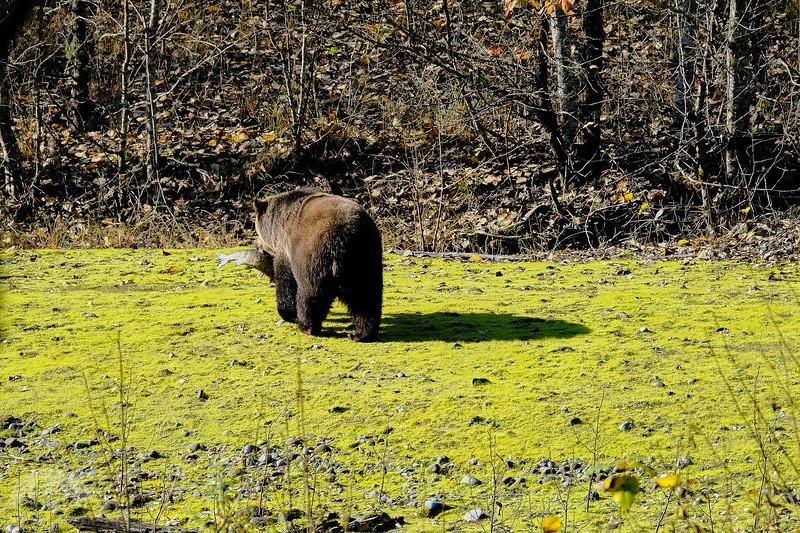 Grizzly Bear DSCF6949.jpg