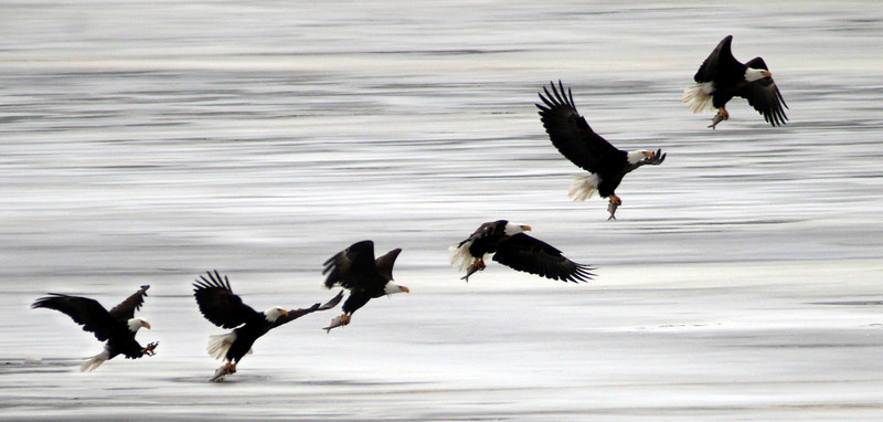 Feb Best Bald Eagle Shots