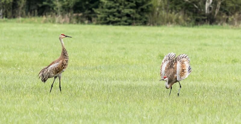 Sandhill Crane courtship dance Arkola Road Sax-Zim Bog MN DSC07904.jpg
