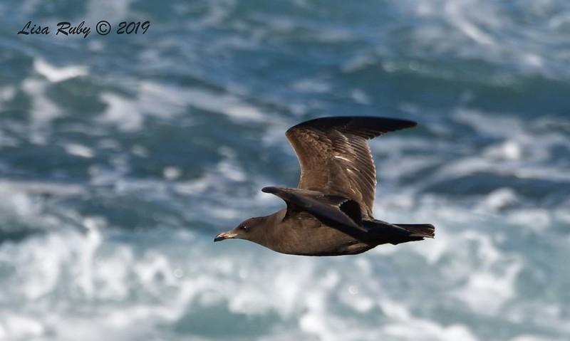 First Year Heerman's Gull - 3/8/2019 - La Jolla Cove
