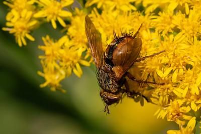 Parasitic Flies ~ Snyltefluer