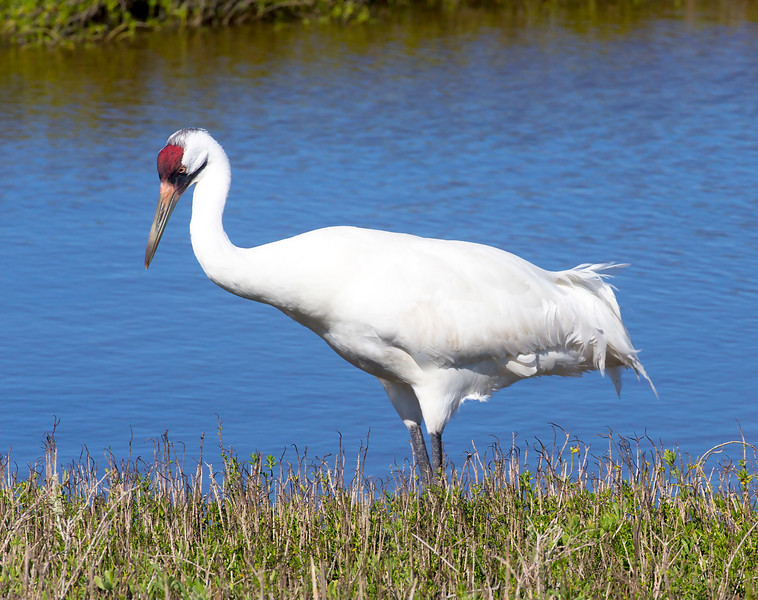 Quizzical Whooping Crane