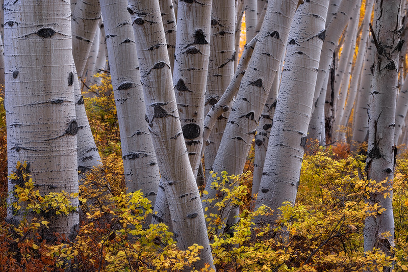 zzz (Unknown) - Aspen Trees