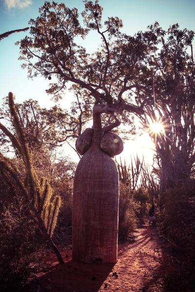 Feminine Baobab in the Sunset