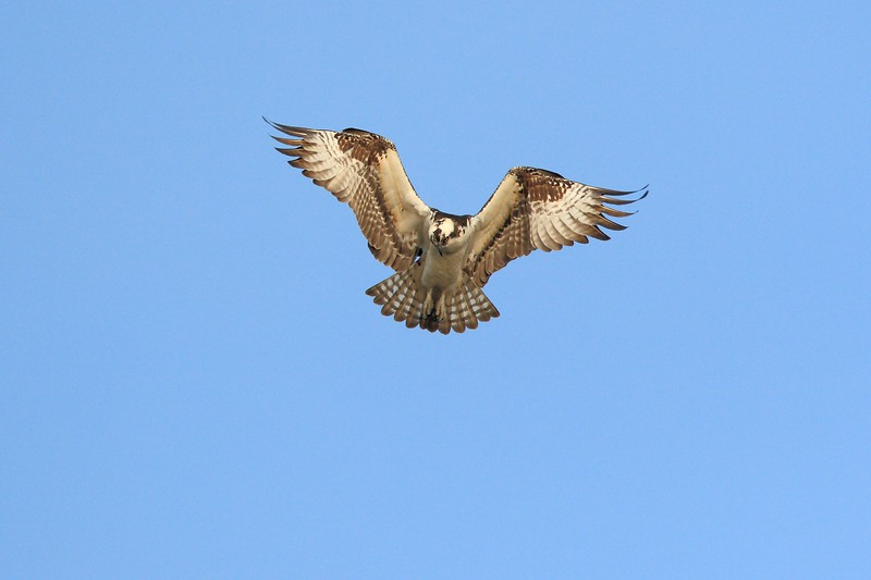 Osprey (Pandion haliaetus) hovering over fish getting ready to strike in Newport News, VA. Osprey are also known as sea hawks, fish hawks, and sea eagles. © 2007 Kenneth R. Sheide