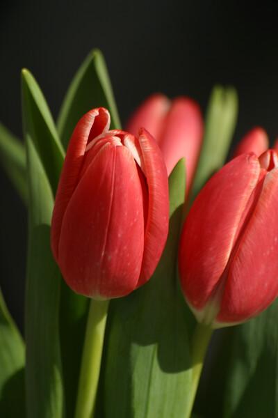 FL-01-tulip on black vertical-0083.jpg