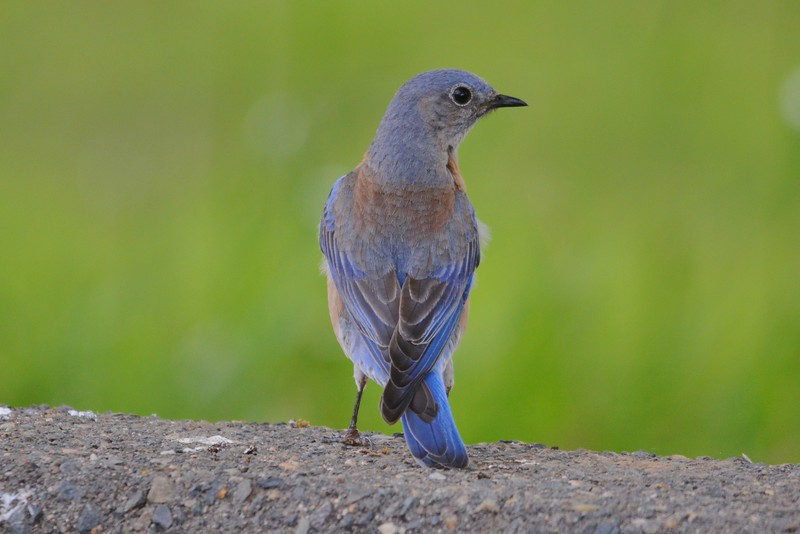 Western Bluebird Rear View.JPG