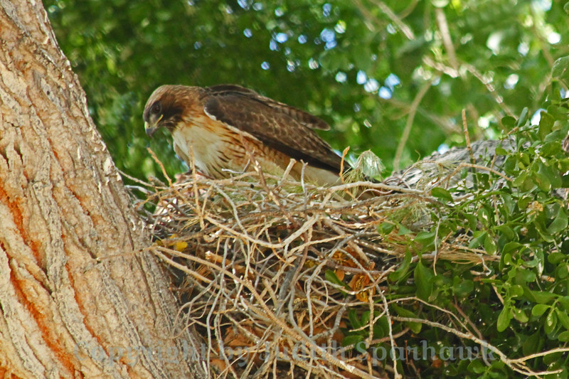 Red Tailed Hawk at Nest ~ I was birding at the Big Morongo Canyon Preserve in the desert of Southern California, and enjoyed seeing and photographing a Red Tailed Hawk nest.  There were four young, at various stages of growth.  This photograph is of one of the parents, just back to the nest after hunting for lunch.