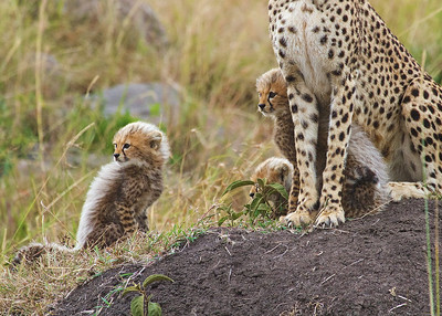 Cheetah and Cubs in Tanzania and Kenya