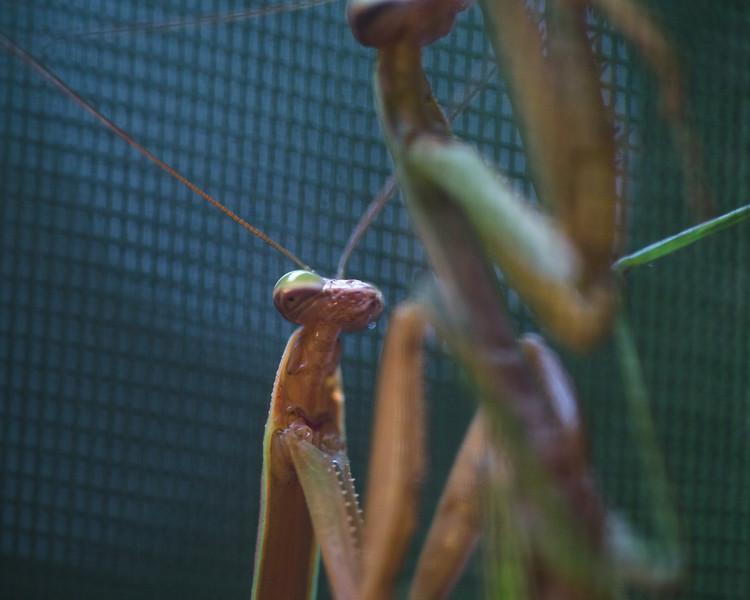 Mantis Love