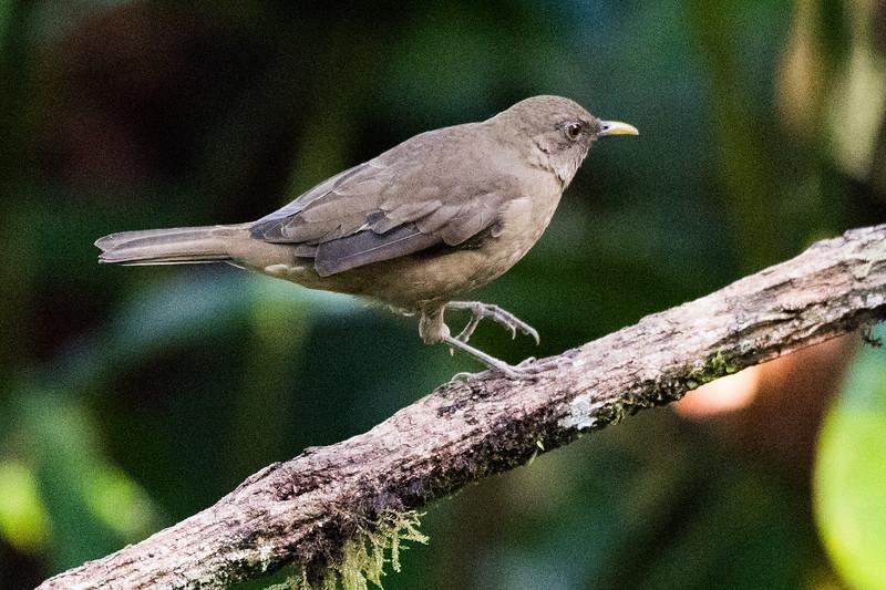 19-Sept Costa Rica Birds-1056.JPG