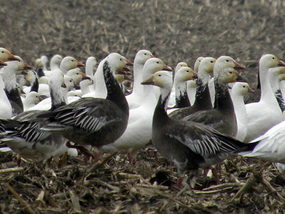 Snow Geese in CENTRAL IL & along IL River