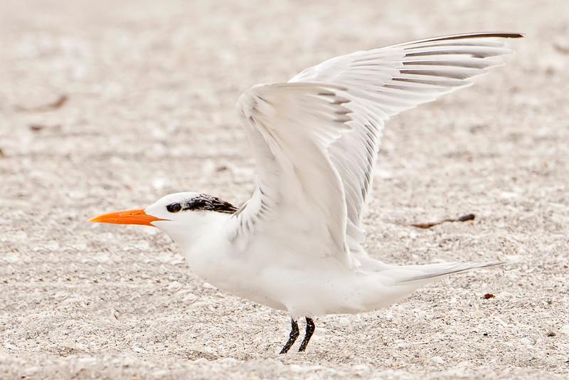 Tern - Royal - Blind Pass - Sanibel Island, FL - 06