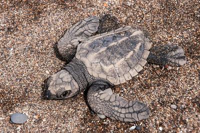 Dec. 28, 2014 - Costa Rica - Baby Sea Turtles