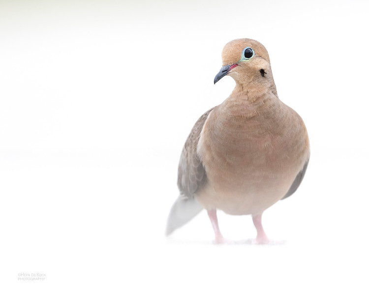 Mourning Dove, Fort De Soto, St Petersburg, FL, USA, May 2018-4.jpg