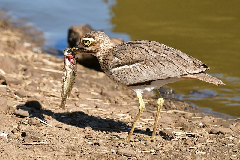 Water Thick-knee sm.jpg