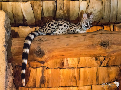 Genet in the Rafters