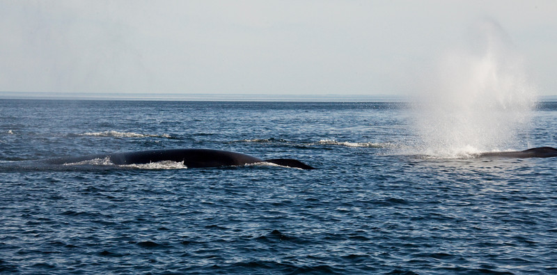 2011 quebec whale watching (29 of 80).jpg