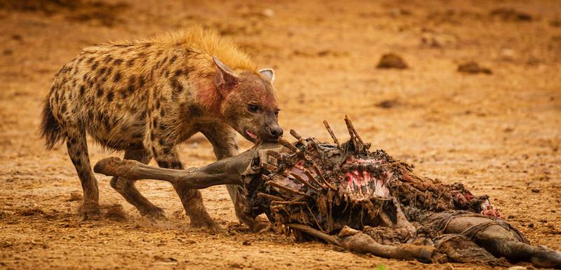 Hyaena feast 1