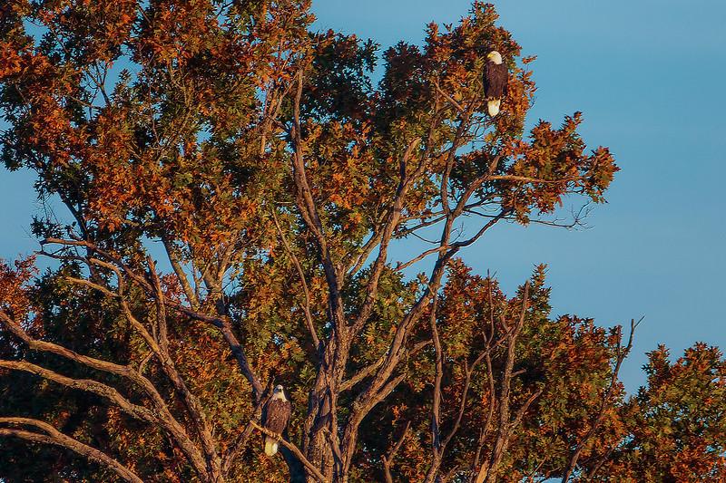 10.28.18 - Prairie Creek Marina: American Bald Eagle