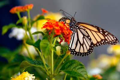 White Monarch Butterflies - Aug 2015
