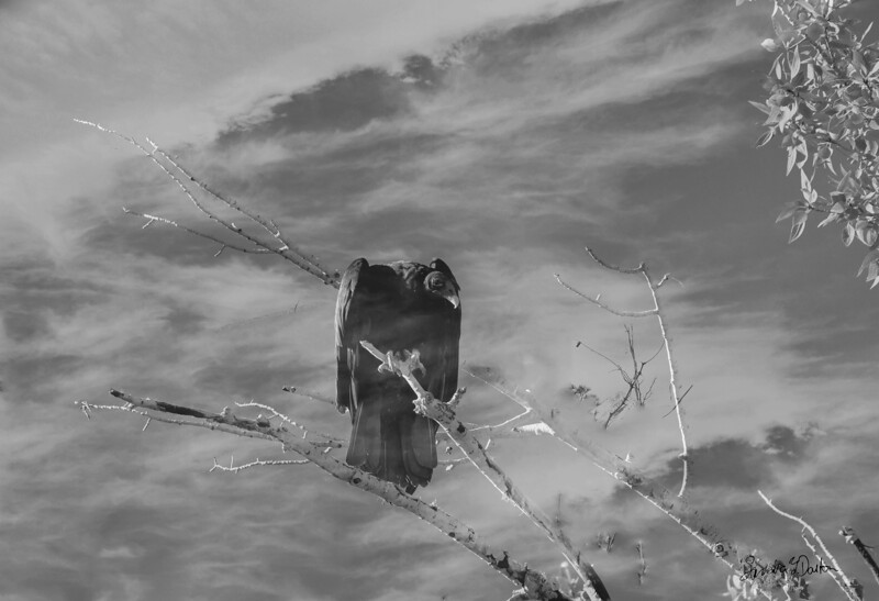 Vulture in Clouds
