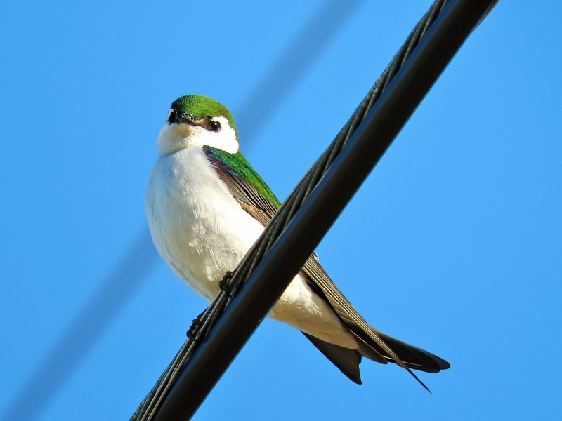 Violet Green Swallow at Rancho San Antonio