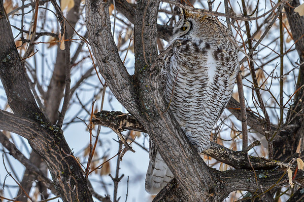 11-12-15 Great Horned Owl