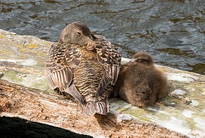 Eider ducks relaxing in the sun
