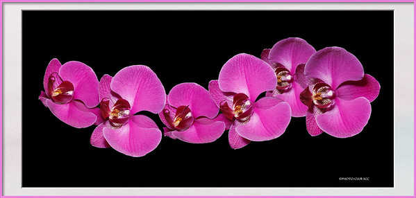 DIGITAL CREATIVE - phalaenopsis swagBobbie RayMa13silver