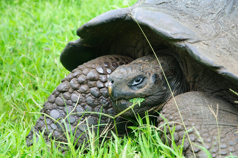Land tortoise gets a bite to eat