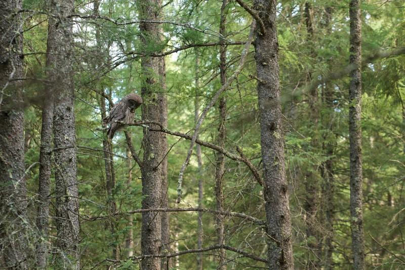 Great Gray Owl McDavitt Rd Sax-Zim Bog MN IMG_0058153.jpg