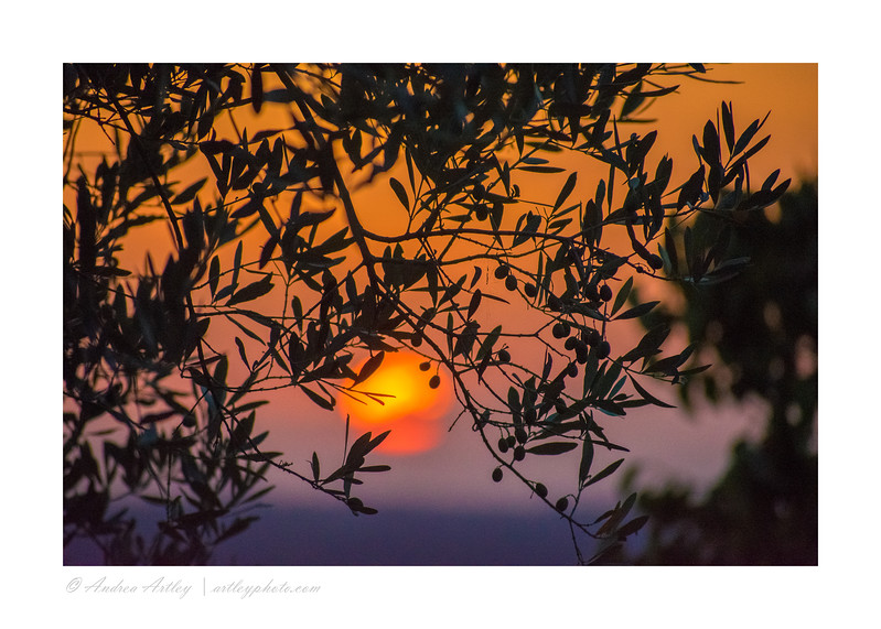 Tuscan sunset through olive branches.