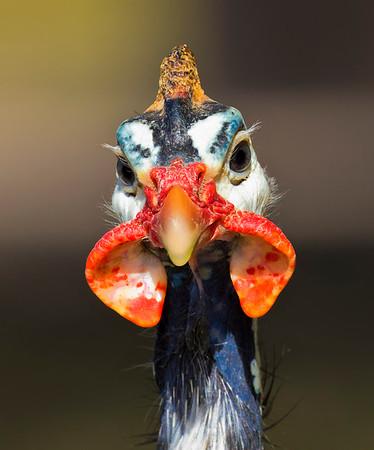 Birds Of Australia, Wild and Captive, Native and Non-Native
