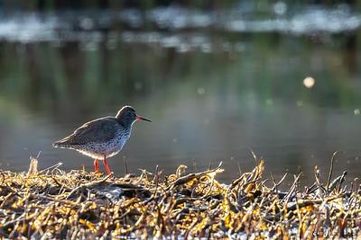 Rødstilk (Common Redshank)