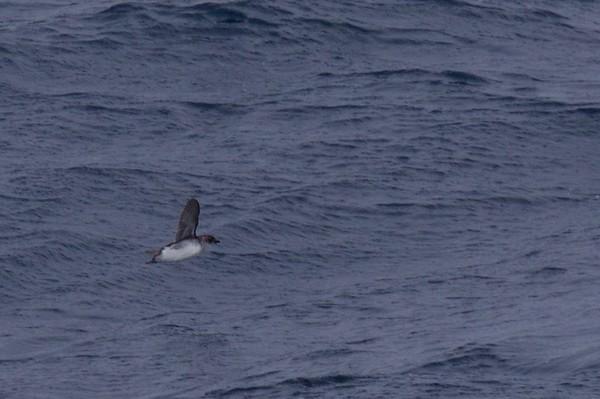 PELECANOIDIDAE Diving-Petrels