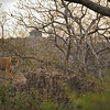 Tiger walking on the ruined ramparts of the Ranthambhore fort