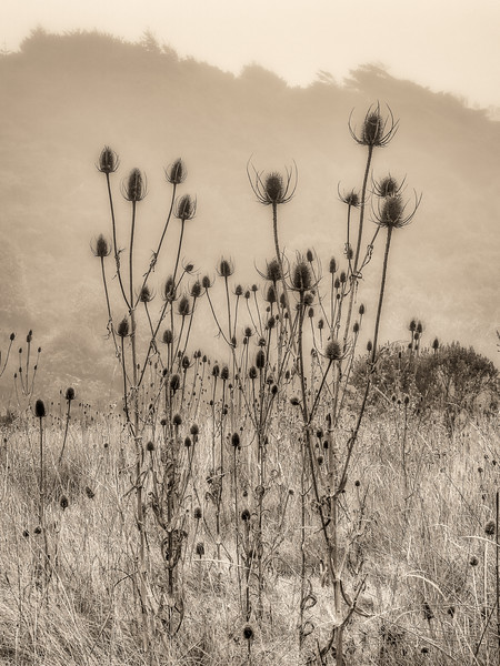 Indian Teasel, Study 2, Gualala, CA