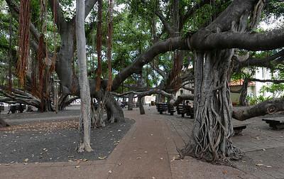Maui-The Banyan Tree-Sept 2016
