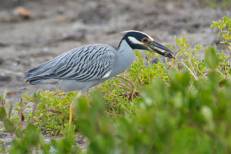 Night-Heron - Yellow-crowned - Ding Darling NWR - Sanibel, FL - 02