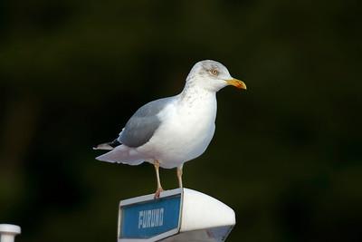 Gråtrut – Herring Gull