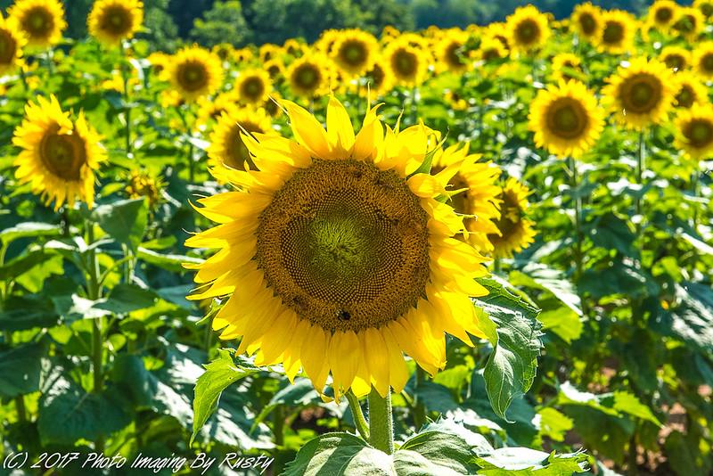 Sun Flowers-3.JPG