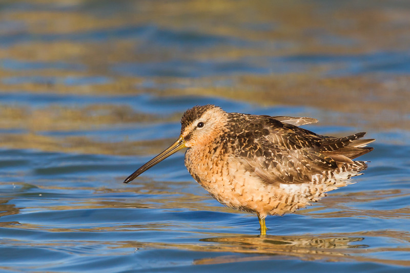 Long-billed Dowitcher - Redwood Shores, CA, USA