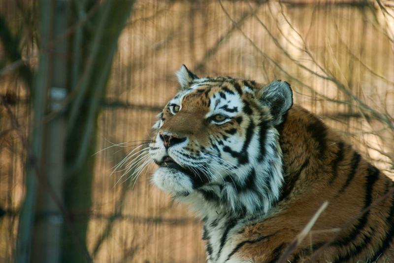 Amur Tiger - Amurintiikeri - Panthera tigris altaica  Any one? - Kuuliko kukaan?