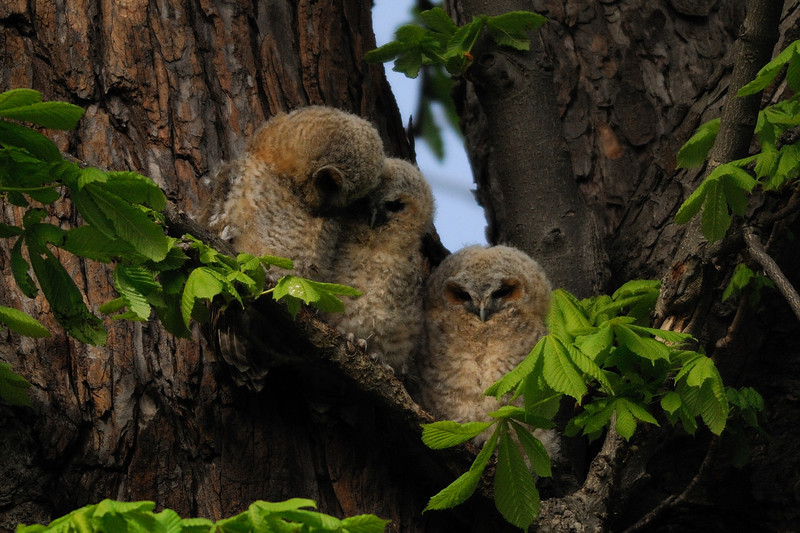 Tawny owlets Hyde Park, London, England