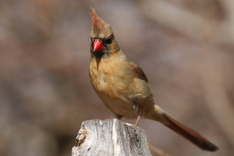 A female cardinal. At the Elizabeth A Morton National Wildlife Refuge.